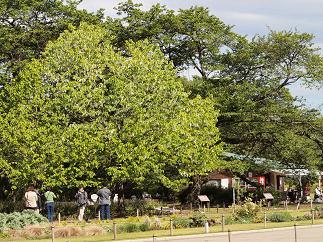 ハンカチの木4
