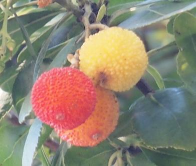 イチゴの木2