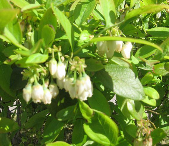 ブルーベリーの花4月27日