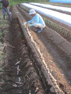 サフラン定植作業