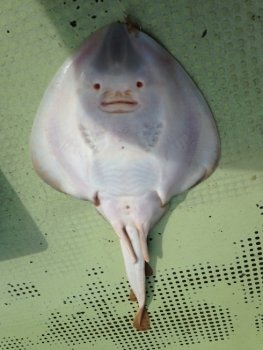 うちわサメ2