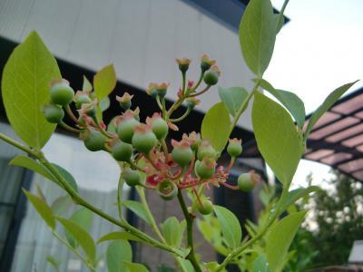 ブルーベリー 果実