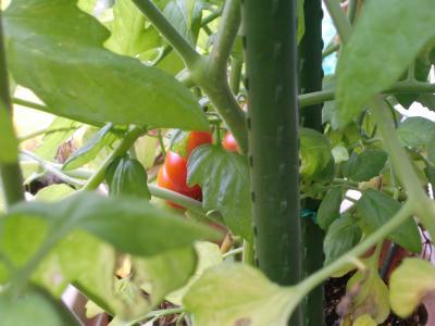 プチトマト6.23