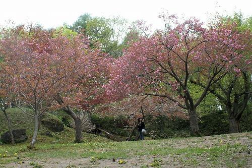 八重桜13.5.26