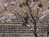 桜の花 食べないで