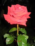 旧古河庭園薔薇