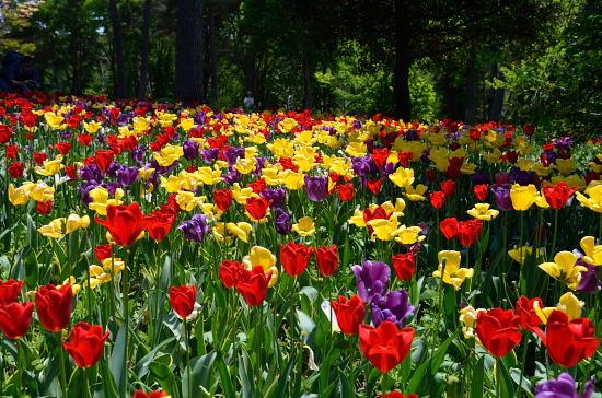 公園・庭園樹園のチューリップ畑