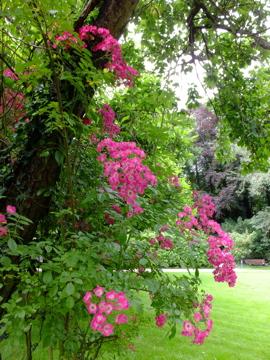 プラムの木とバラ