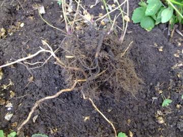 イワミツバの根
