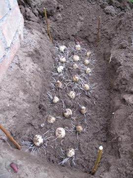 球根を植える