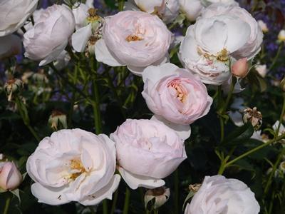 薔薇薄ピンク
