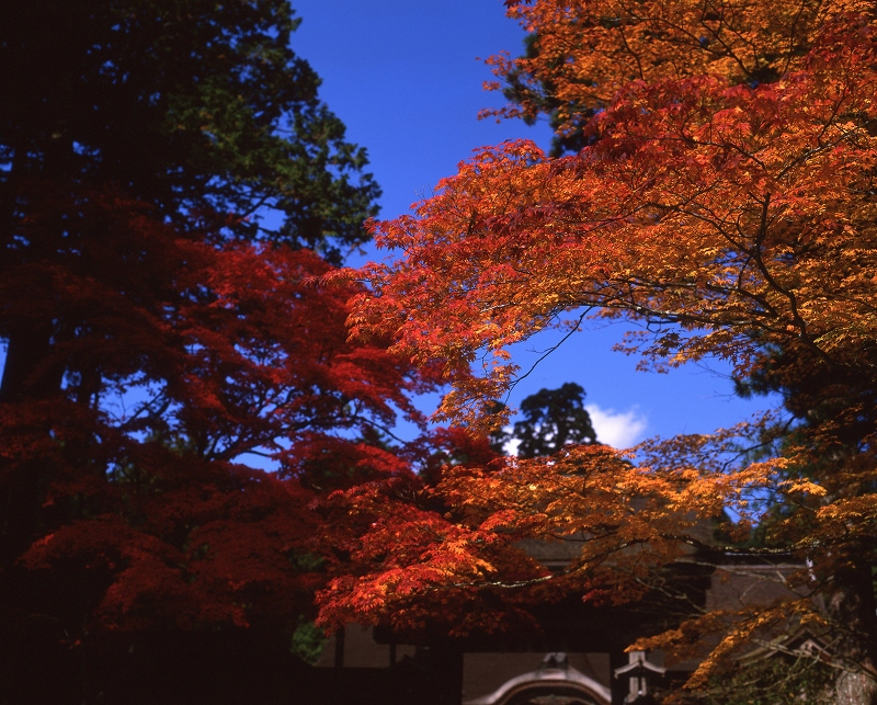 高野山 金剛峰寺の紅葉2