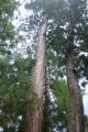 14-8-11-131伊勢神宮の杉