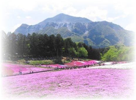 芝桜メイン