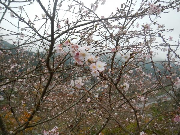 棒ノ嶺10月桜 009