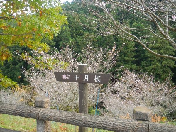 棒ノ嶺10月桜 106