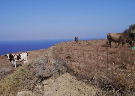 フォレガンドロス 道沿いに放牧されている牛など
