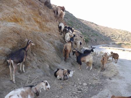 崖沿いにいるヤギ