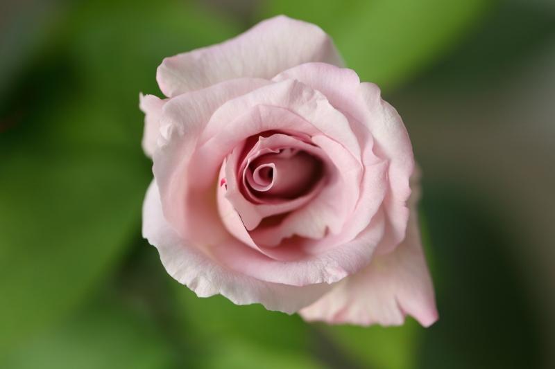 my-rose_0001f.jpg