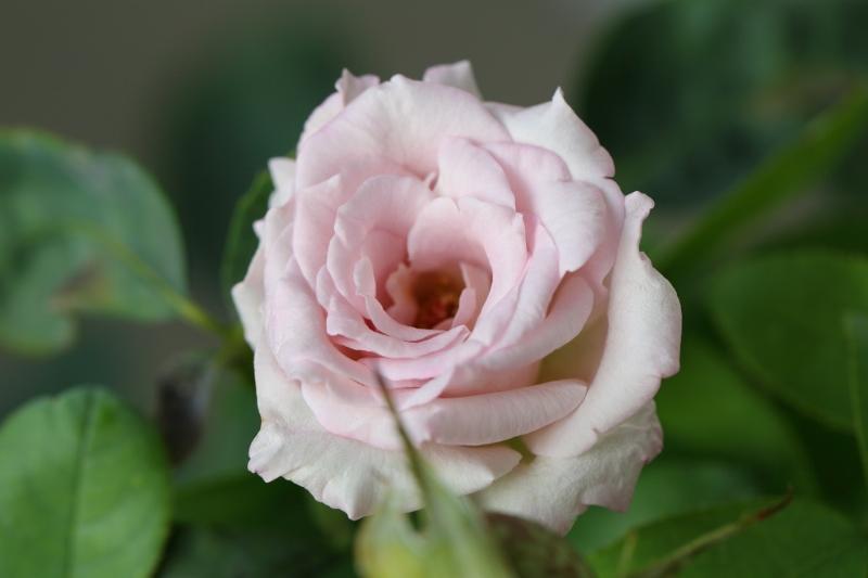 my-rose_0002f.jpg