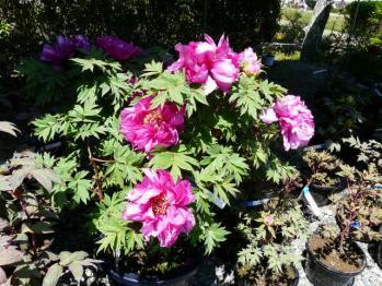 20130505花のジュータン5