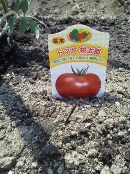 20130506畑~♪トマト1