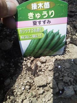 20130506畑~♪きゅうり2