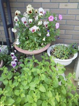 20130521玄関前の花~♪4