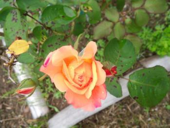 20130530やっとバラが咲きました。