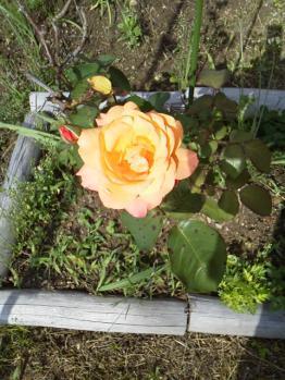 20130531アンネのバラ