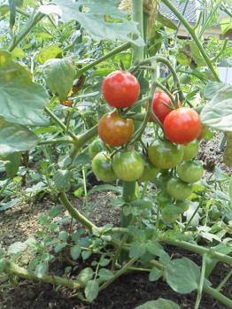 20130627ミニトマト
