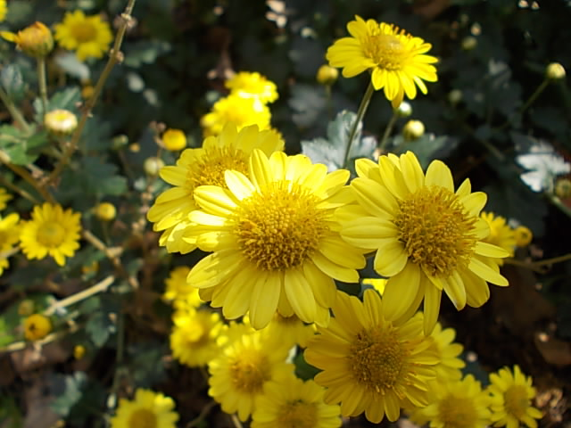 Chrysanthemum 20131121-2