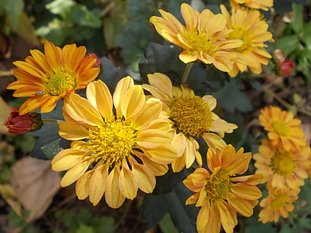 Chrysanthemum 20131121-3