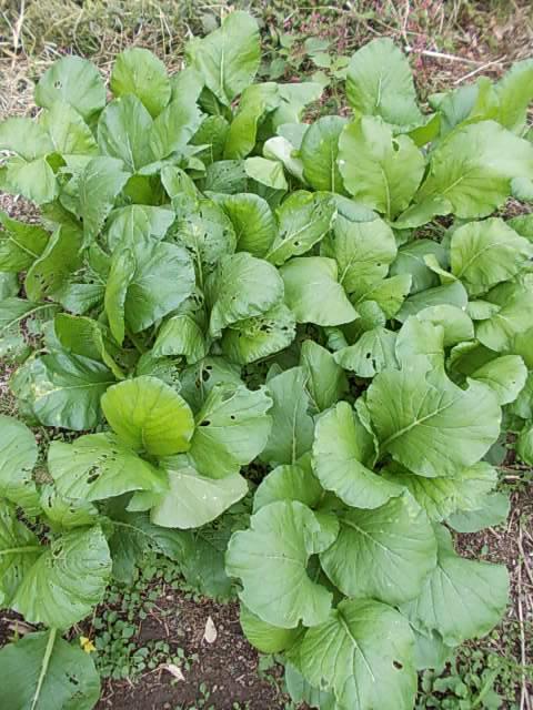 Komatsuna spinach 20131114