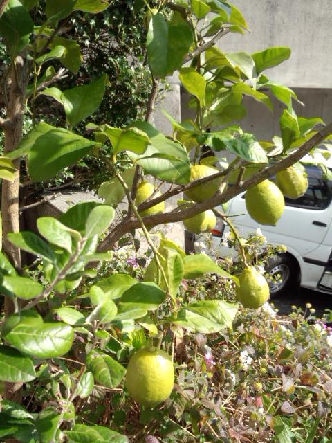 Lemon 20131115