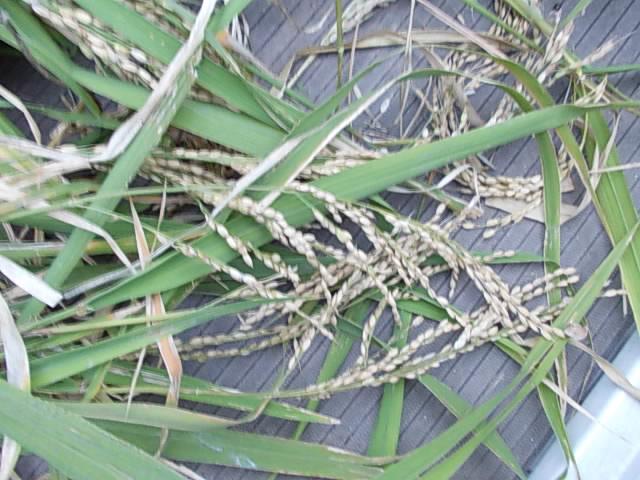 Upland rice 20131102