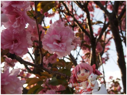 八重桜と撮影