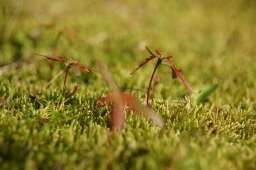 苔の草原にもみじの赤ちゃん♪