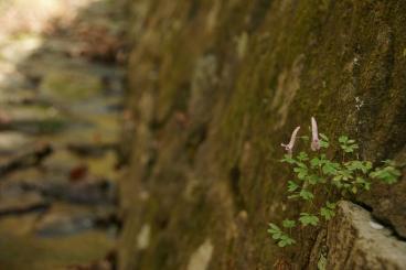 石垣のエンゴサク