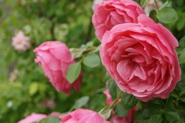 薔薇・・・綺麗なのを選んでみました♪