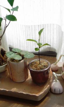 柿の木盆栽♪・・・笑
