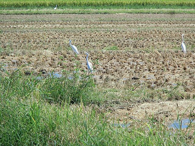 稲刈りの終わった田んぼ