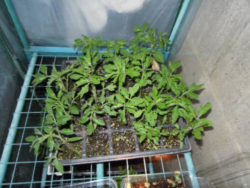 トマトの成長 約2ヶ月目