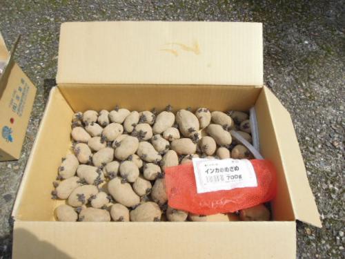 H25 インカのめざめ 種芋