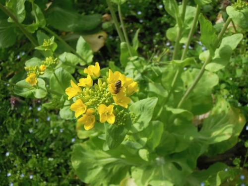 菜の花に日本蜜蜂