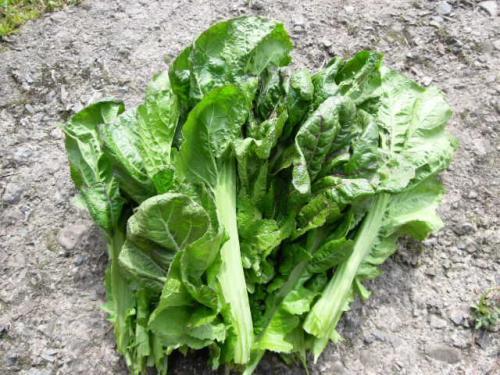 三池高菜の収穫