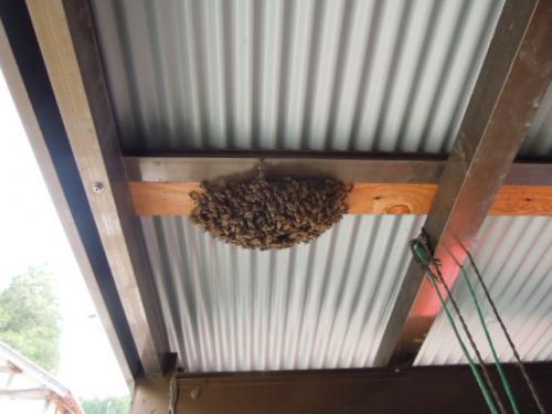 日本蜜蜂の分蜂H25