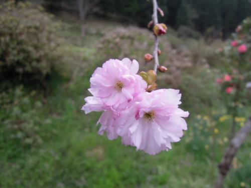 八重桜の紅笠の花