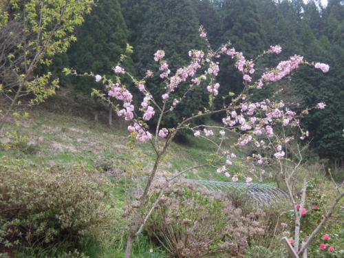 紅笠の開花H25