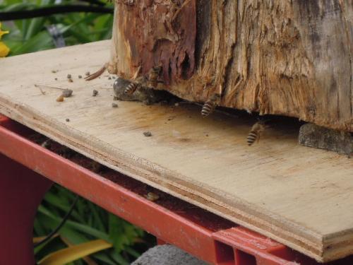 日本蜜蜂 蜜集め初日